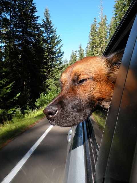 Dog Out the Window