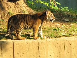 A Sumatran Tiger Cub