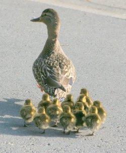 ducks with mama